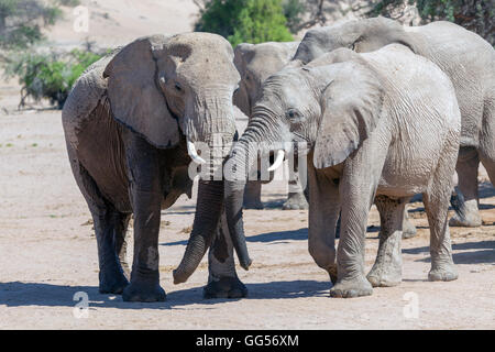 Damaraland Namibia Desert adapted elephants (Loxodonta africana) near Doro Nawas - Stock Photo
