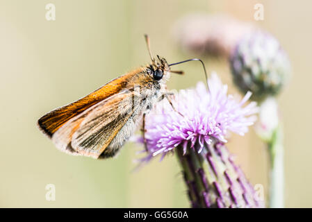 A small skipper butterfly (Thymelicus sylvestris) on the flower of a creeping thistle (Cirsium arvense) - Stock Photo