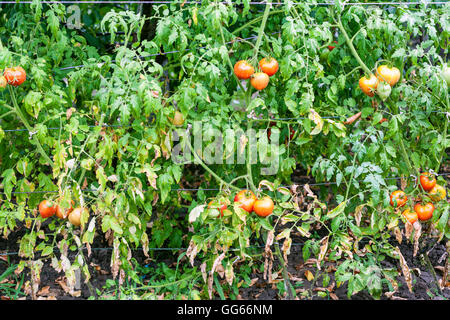 tomato bushes with fruits in vegetable garden after watering - Stock Photo