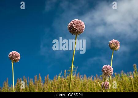Allium flowers growing wild on the cliff path at Bigbury-on-Sea, Devon, UK - Stock Photo