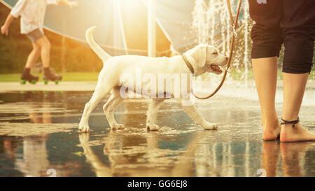 Labrador Retriever puppy happily before water fountains on a leash in a park by sunset - going for a walk with a - Stock Photo