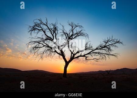 Acacia tree near Dune 45 in the Namib Desert at sunset, Sossusvlei, Namin-Naukluft Park, Namibia, Africa - Stock Photo
