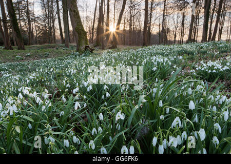 Snowdrops in woodland at sunset, near Stow-on-the-Wold, Cotswolds, Gloucestershire, England, United Kingdom, Europe - Stock Photo