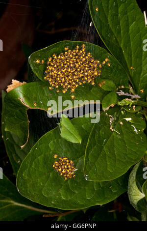 Cluster of baby Garden Cross Spiders before dispersal - Stock Photo