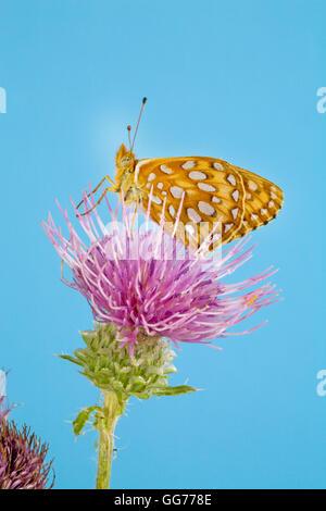 A Zerene Fritillary butterfly, speyeria zerene, lit on a Bull thistle (Cirsium vulgare) seeking nectar. - Stock Photo