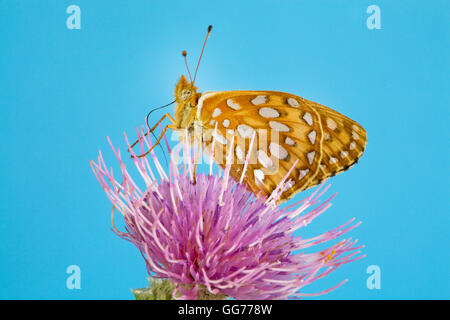 A Zerene Fritillary butterfly, speyeria zerene , lit on a Bull thistle (Cirsium vulgare) seeking nectar. - Stock Photo