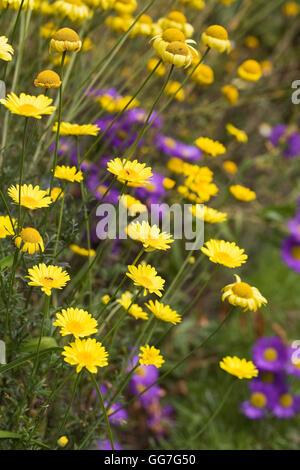 Anthemis tinctora 'E.C. Buxton' flowering in an herbaceous border. - Stock Photo