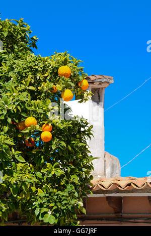 Oranges on a tree near the windmills in Palma, Mallorca, Spain, Majorca, Balearic Islands - Stock Photo