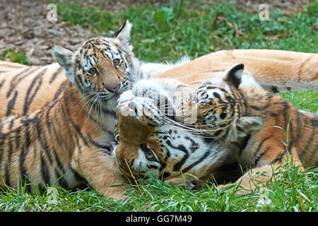 Female Amur Tiger plays in grass with her little cubs - Stock Photo