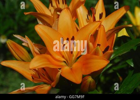 Daylily, hemerocallis fulva - Stock Photo