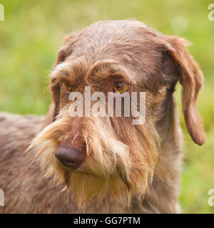 purebred wire-haired dachshund portrait - Stock Photo
