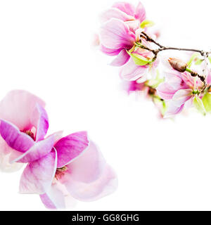 asian type of magnolia wildly blossoming during spring time in Europe on white background - Stock Photo