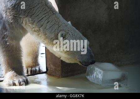 Beijing, China. 10th Aug, 2016. A polar bear licks an ice cube to relieve summer heat at the zoo of Beijing, capital - Stock Photo