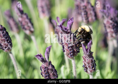 Bumble bee on a lavender flower, pollination - Stock Photo