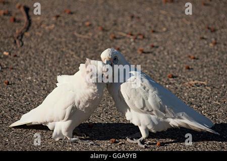 Little corella Cockatoo's  ( Cacatua sanguinea ) Western Australia - Stock Photo
