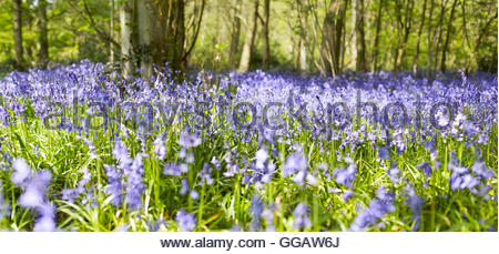 Hyacinthoides Bluebell Woods in spring - Stock Photo