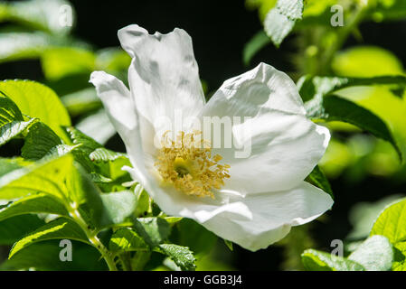 The white flower of a dog rose (Rosa canina) - Stock Photo