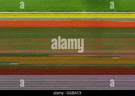 Aerial view, tulip fields, agriculture, colorful tulip fields, tulips (lat.Tulipa), ornamental flowers, Zuidoostbeemster, - Stock Photo
