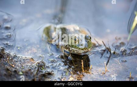 American Bullfrog (Lithobates catesbeianus) camouflaged in habtat - Stock Photo
