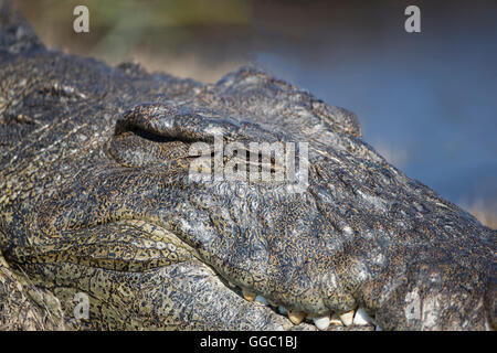 Close up of the head of a Nile crocodile Crocodylus niloticus the second largest reptile in the world - Stock Photo