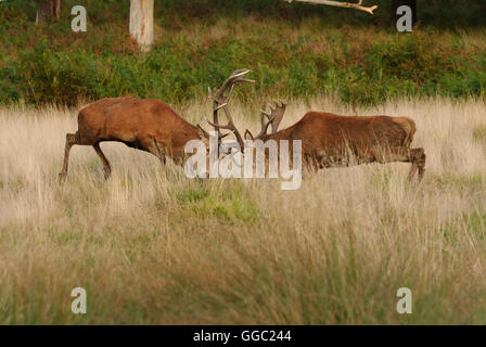 Two fighting Red deer stags during the rutting season - Stock Photo