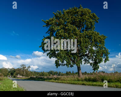 Big beautiful lone tree near the road about a flowering meadow in summer in August, under a blue sky with clouds - Stock Photo