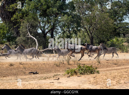 A herd of Burchell's Zebra stampeding near Lake Manze in Tanzania - Stock Photo
