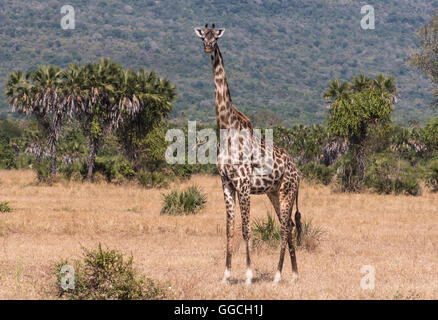 Masai Giraffe in the Selous Game Reserve Tanzania - Stock Photo