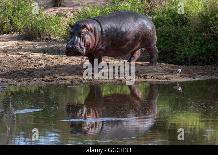 Hippo in the last pool in an otherwise dry river bed - Stock Photo