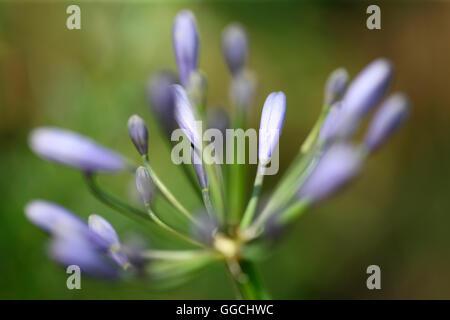 soft focus loving, sentimental violet-blue agapanthus in bud- african lily Jane Ann Butler Photography JABP1532 Stock Photo