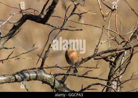 Chaffinch (Fringilla coelebs) sitting on branch - Stock Photo