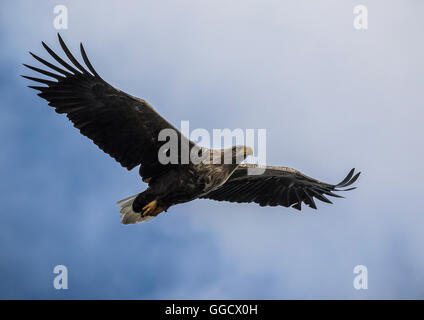 White tailed eagle against blue sky - Stock Photo