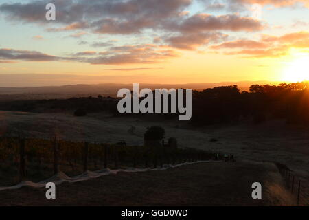 Sunrise at harvest time at the Gaia Vineyard of Grosset Wines in Clare Valley in South Australia - Stock Photo