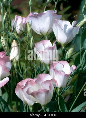 Eustoma grandiflorum   ANN057541 - Stock Photo