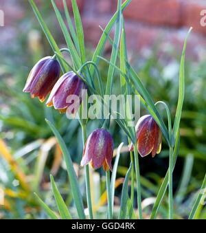 Fritillaria messanensis - subsp. gracilis   BUL044075 - Stock Photo