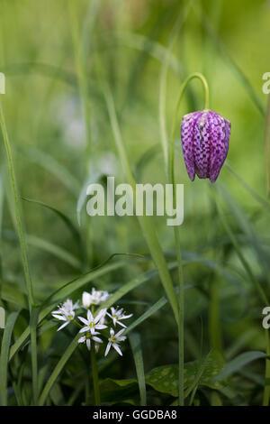 Snake's head fritillary / chess flower / guinea flower (Fritillaria meleagris) - Stock Photo