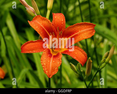 water droplets on single orange fire lilies at Kalemegdan Fortress  Belgrade Serbia - Stock Photo