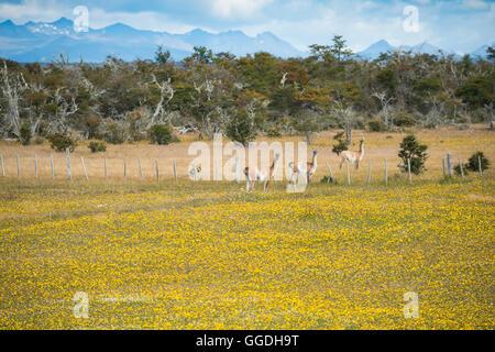 South America, Patagonia, Chile, Magallanes y la Antártica, Tierra del Fuego, Lago Blanca, Guanacos in blooming - Stock Photo
