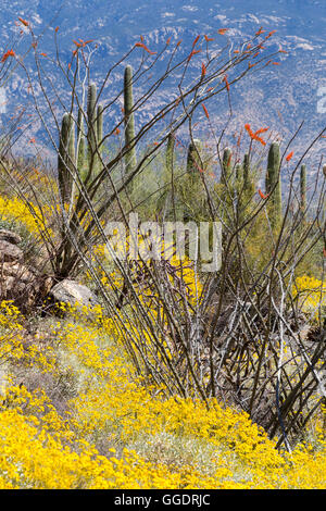 Brittlebrush wildflowers and ocotillo blooming in a forest of saguaro cactus below Rincon Peak. Saguaro National - Stock Photo