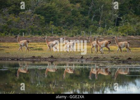 South America, Patagonia, Chile, Magallanes y la Antártica, Tierra del Fuego, Lago Blanca, Guanaco, Lama guanicoe - Stock Photo