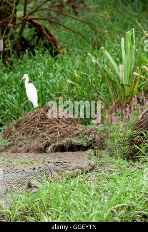 A large Saltwater crocodile basks beside a wary white egret in Yellow Waters, Kakadu National Park, Northern Territory, - Stock Photo