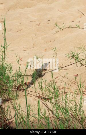 A juvenile estuarine crocodile on the banks of the East Alligator River in Arnhemland, Kakadu National Park, Northern - Stock Photo