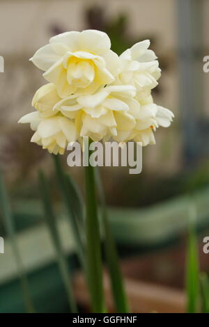 Jonquils narcissus blooming late winter - Stock Photo
