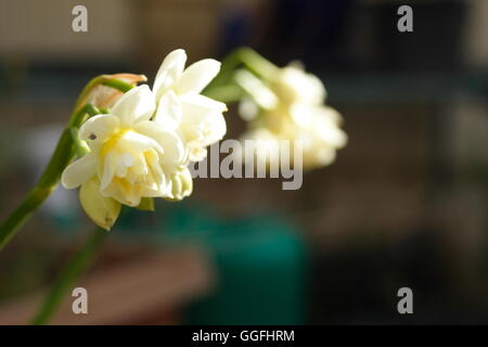 Jonquils narcissus blooming - Stock Photo