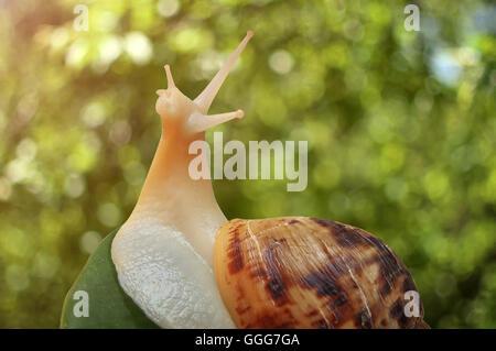 Achatina snail close-up - Stock Photo
