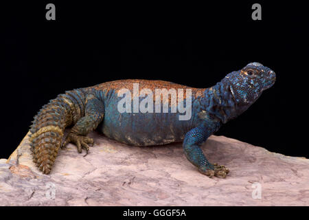 Arabian blue mastigure  (Uromastyx ornata philbyi) - Stock Photo