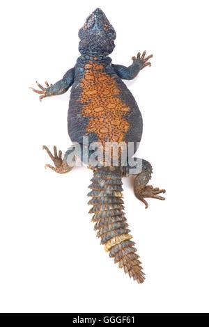 Arabian blue mastigure  (Uromastyx ornata philbyi) - Stock Photo