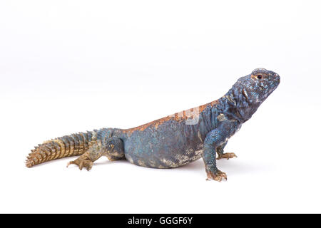 Arabian blue mastigure  (Uromastyx ornata philbyi), Yemen - Stock Photo