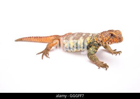 South Arabian Spiny-tailed Lizard  (Uromastyx yemenensis) Yemen - Stock Photo