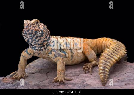 South Arabian Spiny-tailed Lizard  (Uromastyx yemenensis) - Stock Photo